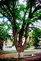 Дуб черешчатий, м. Полтава, вул. Фрунзе, 9 - 2015-07-02 048.jpg