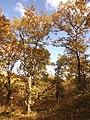 Дъбрава, есен.jpg