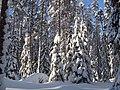 Елки в снегу. Петровское. Foto by Natalia Semenova - panoramio.jpg