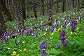 """Килим весняних квітів в урочищі """"Зіньків камінь"""" в квітні.jpg"""