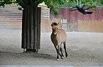 Кінь Пржевальського у Київському зоопарку. Фото 1.jpg