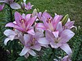 Лилейники в ботанічному саду,.jpg
