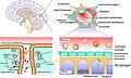 Строение ГЭБ - от мозга к плотному контакту.jpg
