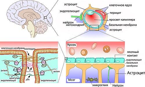 Строение ГЭБ — от ткани мозга