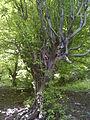درخت انجیلی.jpg