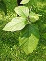คอร์เดีย (Geranium tree ) Cordia debestina L. 02.jpg