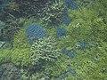 サンゴ1706.jpg