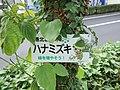 ハナミズキ - panoramio.jpg