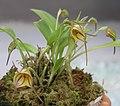 三尖蘭屬 Masdevallia Tuakau Candy -泰國清邁花展 Royal Flora Ratchaphruek, Thailand- (9213290605).jpg