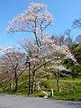 吉野山 中千本にて Cherry tree in Nakasembon 2010.3.30 - panoramio.jpg