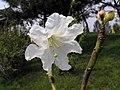大白杜鵑 Rhododendron decorum -瀋陽植物園 Shenyang Botanical Garden, China- (9229858300).jpg