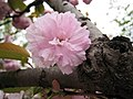 山櫻花 Cerasus serrulata -上海中山公園 Shanghai Zhongshan Park- (17244763681).jpg