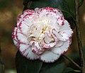 山茶花-重瓣牡丹型 Camellia japonica Double - Peony Form -昆明金殿 Kunming, China- (14279787188).jpg