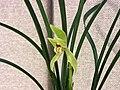 春劍虎斑 Cymbidium longibracteatum 'Tiger Stripes' -香港沙田國蘭展 Shatin Orchid Show, Hong Kong- (12713060994).jpg