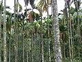 檳榔樹 Areca Palms - panoramio.jpg