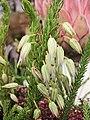 歐石南屬 Erica abietina -香港花展 Hong Kong Flower Show- (9158240924).jpg