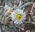 沙座蘭屬 Delosperma nakurense -比利時國家植物園 Belgium National Botanic Garden- (9226996891).jpg