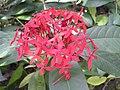 爪哇龍船花 Ixora javanica -香港公園 Hong Kong Park- (9204833589).jpg