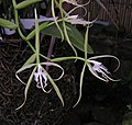 緣唇攀緣蘭 Epidendrum ciliare -香港動植物公園 Hong Kong Botanical Garden- (9252459183).jpg