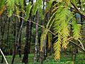 落羽杉 Taxodium distichum - panoramio.jpg