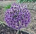 蔥屬 Allium aflatunense -比利時 Ghent University Botanical Garden, Belgium- (9200884726).jpg