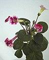 迷你岩桐 Sinningia Fu's Surprise -香港花展 Hong Kong Flower Show- (41025181181).jpg