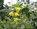 金花小檗 Berberis wilsoniae -紐西蘭 Dunedin Botanic Garden, New Zealand- (32610487168).jpg