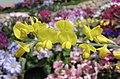 金雀錦雞兒 Caragana frutex -香港花展 Hong Kong Flower Show- (9213335849).jpg