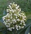 長節珠 Parameria barbata -泰國清邁花展 Royal Flora Ratchaphruek, Thailand- (9237497841).jpg