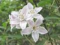 長葉溲疏 Deutzia longifolia Veitchii -英格蘭 Wisley Gardens, England- (9237497683).jpg