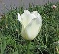 鬱金香-晚生單瓣型 Tulipa City of Vancouver -荷蘭園藝展 Venlo Floriade, Holland- (9229877256).jpg