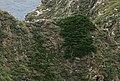 독도 사철나무.jpg