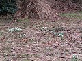 -2019-02-12 Snowdrops onthe common, Lower Southrepps (2).JPG
