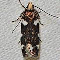- 2204 – Fascista cercerisella – Redbud Leaffolder Moth (16082423171).jpg
