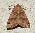 - 8738 - Caenurgina crassiuscula - Clover Looper (44428728702).jpg