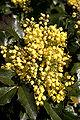 - Mahonia aquifolium 03 -.jpg