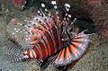 03-EastTimor-Dive K-41 024 (Lion Fish)-APiazza.JPG