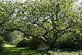 0 Prunus serrulata - Kalmthout (1).JPG