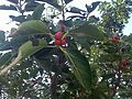 1.fig tree with fruit.jpg