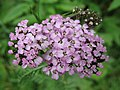 1482 - Nationalpark Hohe Tauern - Flowers.JPG