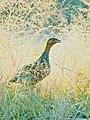 15. Painted francolin or painted partridge (Francolinus pictus) photograph by Shantanu Kuveskar.jpg