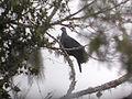 1771 Metallic Pigeon 2 (1804835197).jpg