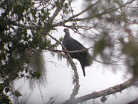 1771 Metallic Pigeon 2 (1804835197)