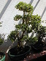 20040413 Bonzaï 08.JPG