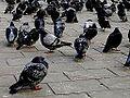 2005-11-12 - United Kingdom - England - London - Trafalgar Square - Pigeons 4887846489.jpg