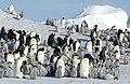 2007 Snow-Hill-Island Luyten-De-Hauwere-Emperor-Penguin-14.jpg