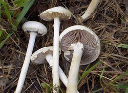 2008-06-17 Agrocybe dura (Bolton) Singer 14446.jpg