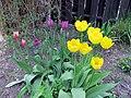 2011 Tulips 7 (5767306150).jpg