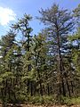 2013-05-10 11 01 36 Pitch Pine (left) and Virginia Pine (right) along the Mount Misery Trail where it overlaps Butterworth Road in Brendan T. Byrne State Forest.jpg