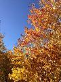 2013-10-20 14 39 19 Aspens on the east side of Harrison Pass.JPG